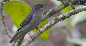 Pássaro ameaçado de extinção.