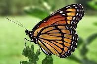 Actinote zikani borboleta ameaçada de extinção.