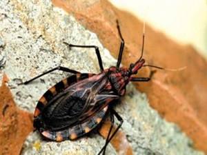 Mosquito da doença de chagas