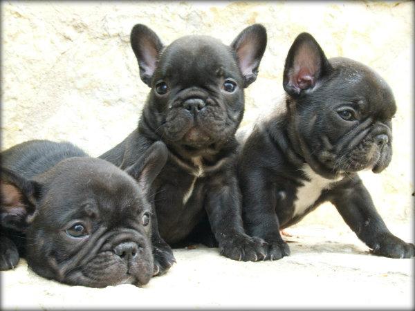 Raças de cães para domesticar em apartamento