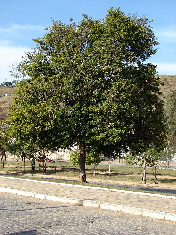 Árvore, cujo participou da ajuda do nome do país.