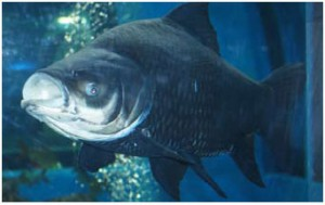 Peixe grande de água doce