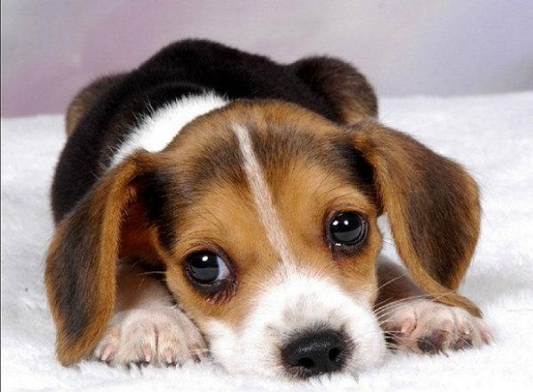 O cachorro pode receber de cinco a seis doses diárias de soror, por dia.