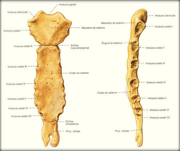 Quais s o os ossos do tronco brasil blogado for Esterno o externo