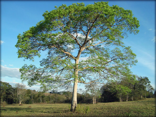 Árvores brasileiras fotos