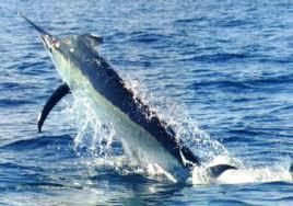 Marlin azul