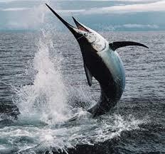 Marlin branco peixe de grande porte