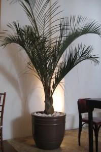 Palmeira -triangular