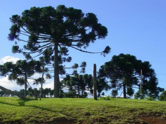 Ele recebe o nome de Pará devido ser bastante encontrado por lá.