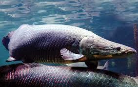 Grande peixe