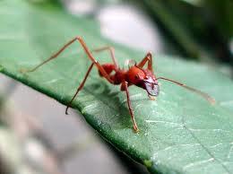 Espécie de formiga ameaçada em extinção.