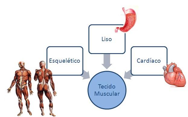 Os três tipos de tecidos influenciam no movimento do corpo e também na contração do mesmo.