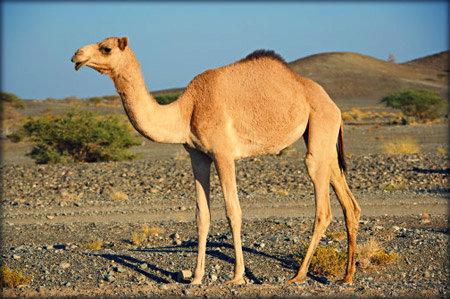 Camelo. (Foto: Divulgação)