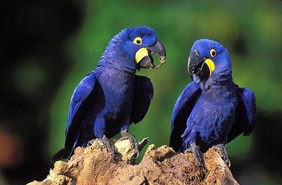 Elas tendem ter sua plumagem mais escura do que a arara de porte médio ou grande.