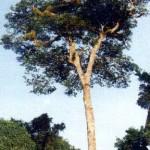 ARVORE DA AMAZÔNIA