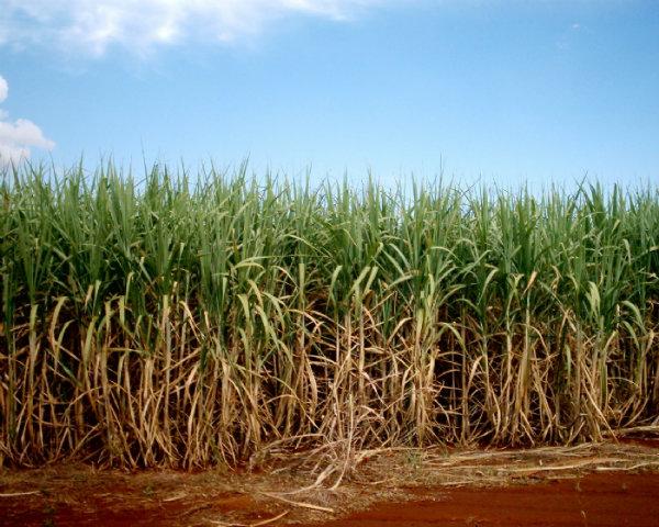 O seu cultivo é eito por várias partes do Brasil.