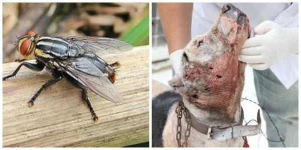 Cuide de seu animal, não deixe que el morra, por causa de uma mosca.