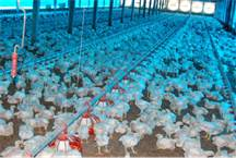 criação de aviários 2