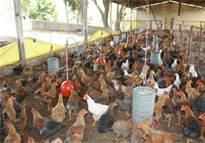 criação de aviários1