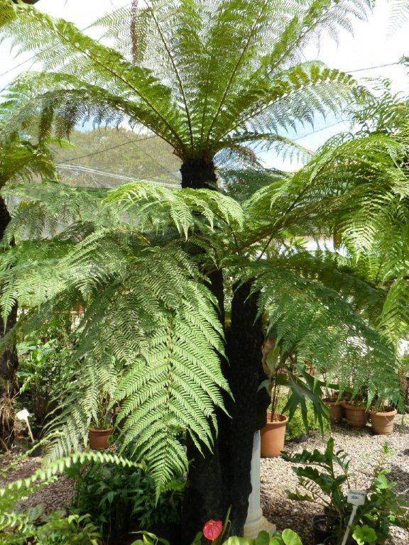A sua reprodução se dá por meio de suas sementes que ficam conglomeradas embaixo de suas folhas.