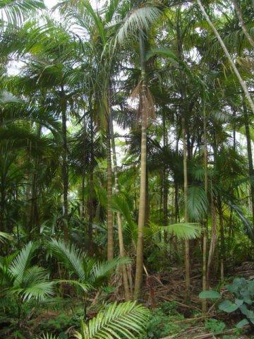 Apesar de ter nome de um alimento, ele parece mesmo é com uma palmeira.