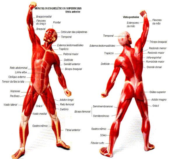 Os músculos são a proteção dos ossos.