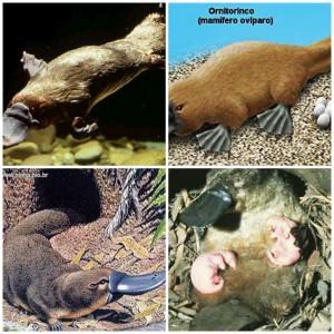 Esse animal é um mamífero ovíparo.