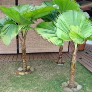 palmeira leque 300x300