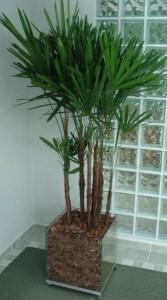 palmeira rafis  167x300