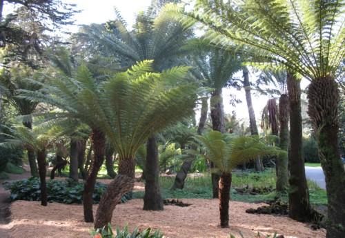 E uma planta pertencente a família das samambaias e que esta em processo de extinção devido a perda de seu habitat