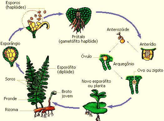 Os soros caem no solo e se encontram com outros produtos, que por sua vez, fazem com que haja a fecundação e o surgimento de uma nova planta.