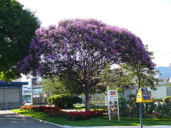 Elas podem ser plantadas em jardins de pequeno e médio porte, apesar do tamanho que pode vir atingir.
