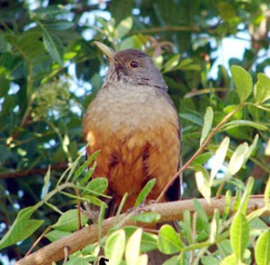 O sabiá pimenta pode ser confundido com o seu companheiro que possui a plumagem do corpo de cor verde e a cabeça preta.
