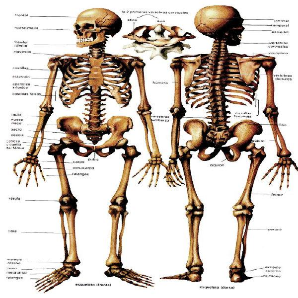 O corpo do ser humano é constituído, por mais de cem  ossos.