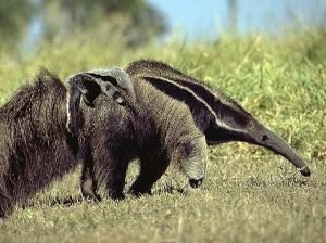 Nem sempre os tamanduás conseguem esconder seus filhos do perigo, por isso, que os carregam junto com eles.