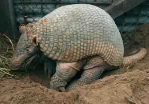 O animal que o Brasil escolheu, para estar animando a copa,  foi exatamente o tatu.