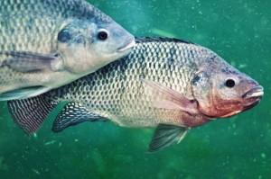 Como pescar tilápia